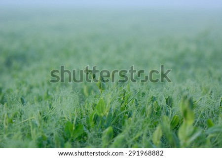 Pea field during sunrise in Sweden - stock photo