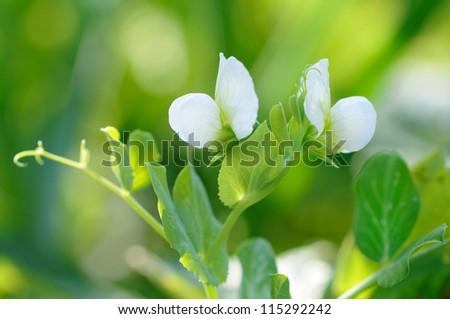 pea flower - stock photo