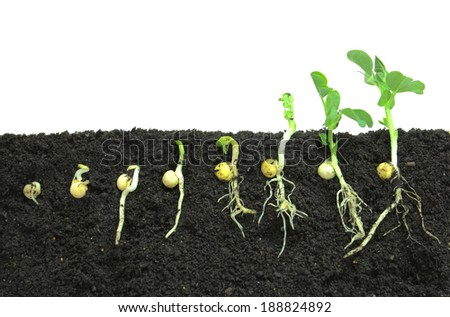 Pea sprouts germinating in soil - stock photo