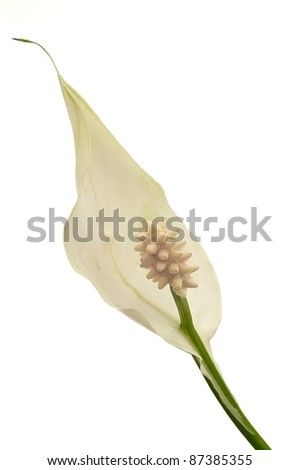 Peace Lily on white ground