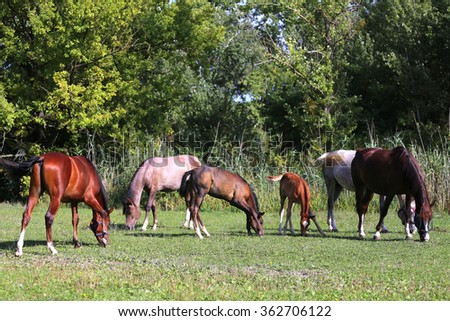 Peaceful landscape with arabian horses grazing fresh green grass. Foals and mares graze together - stock photo