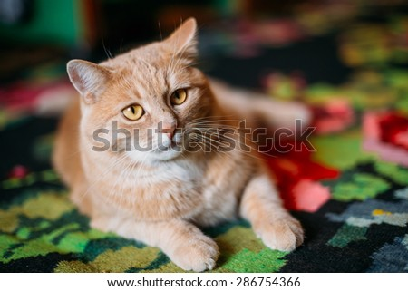 Peaceful Orange Red Cat Male Kitten Lays On Carpet On Floor At Home - stock photo