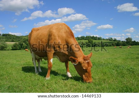 Peaceful pastoral scene featuring a contented Jersey cow to foreground with rolling green Chiltern countryside and fluffy white clouds against summer blue sky - stock photo