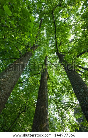 Peaceful, serene forest scene in the shade at the base of large, tall tulip trees, with green deciduous leaves. The view is straight up into the green tree canopies.