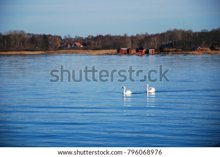 Peaceful view with two swans by the coast at Farjestaden on the swedish island Oland