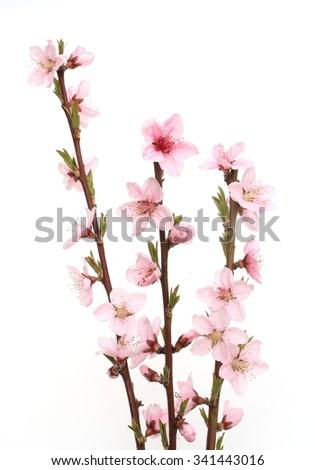 Peach blossom, - stock photo