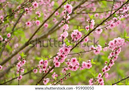 Peach Blossom - stock photo