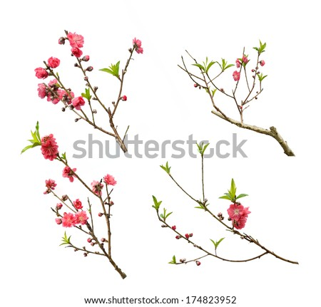 Peach blossom flower collection isolated on white background - stock photo
