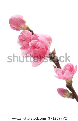 Peach blossom isolated on white background  - stock photo