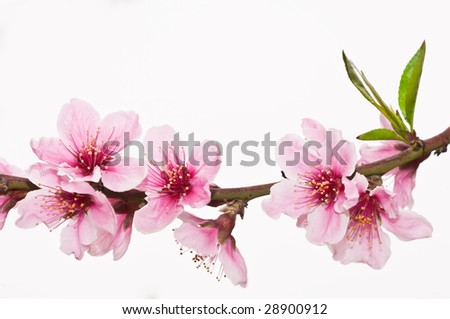 peach blossom on white background
