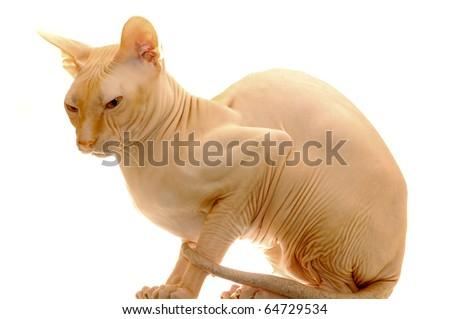Peach cat Sphynx - stock photo
