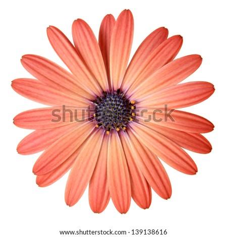 Peach Color Daisy - stock photo