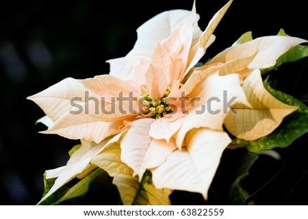 Peach colored poinsettia - stock photo