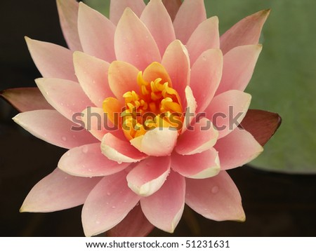 Peach-colored water lily with dew - stock photo