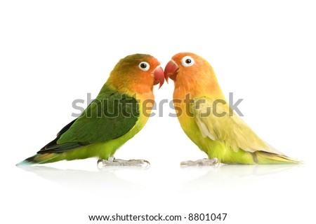 Peach-faced Lovebirdin  - Agapornis roseicollis or Lilian's Lovebird - Agapornis lilianae front of a white background - stock photo