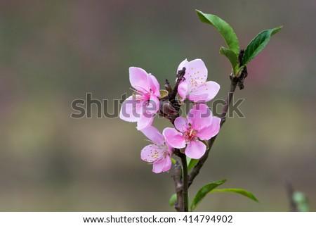 Peach flower background.Peach flowers in garden in Hanoi, Vietnam