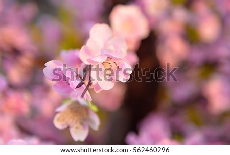 Peach flower on tree. Peach flower is symbol of Lunar New Year - Tet holidays in Vietnam.