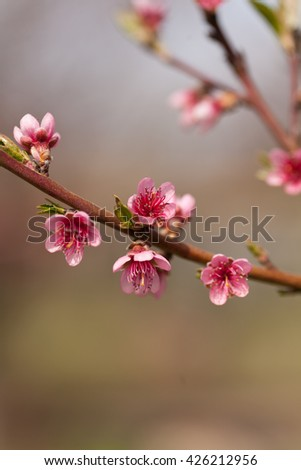 Peach flowers image