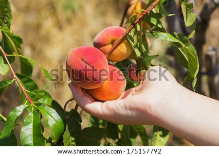 Peach in a hand. Ripe peaches ready to pick on tree branches. - stock photo