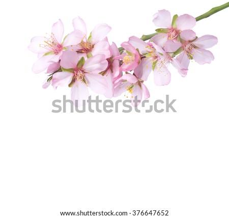 Peach  in blossom isolated on white. Studio shot - stock photo