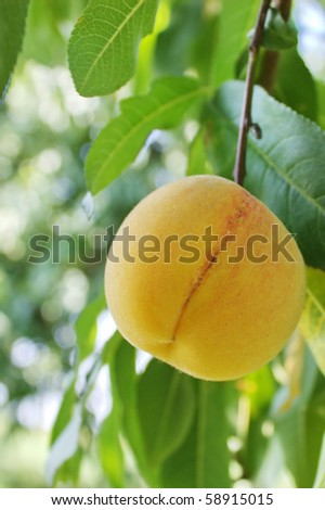 peach on a branch