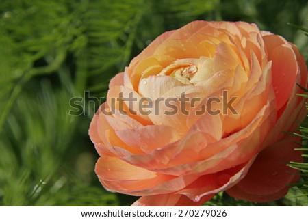 Peach Persian buttercups, Ranunculus asiaticus - stock photo