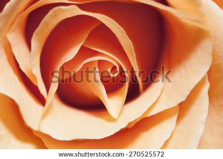 Peach Rose Close up - stock photo