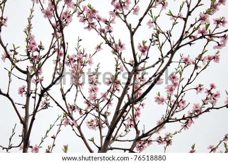 Peach Tree - stock photo
