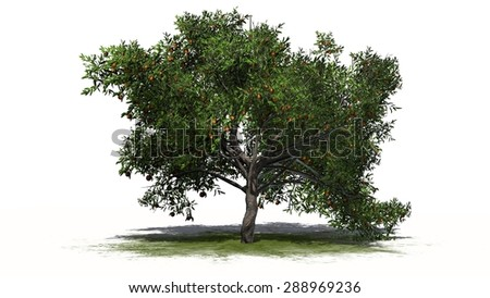 peach tree - separated on white background