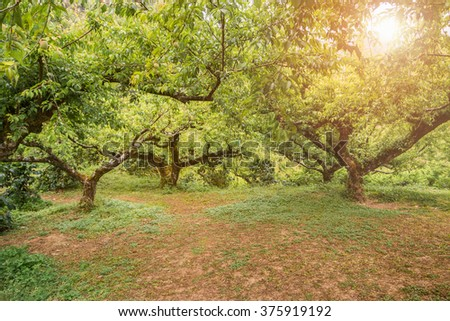 Peach trees in a spring orchard.