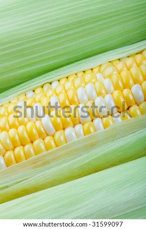 Peaches and cream corn on the cob with husks. - stock photo