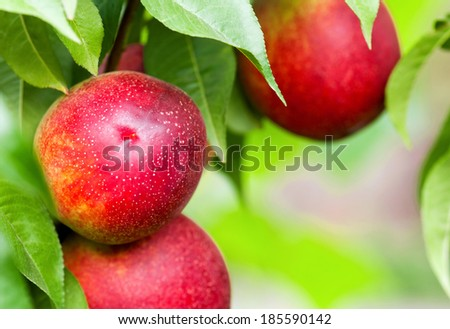 Peaches hang on tree between green leaves  - stock photo