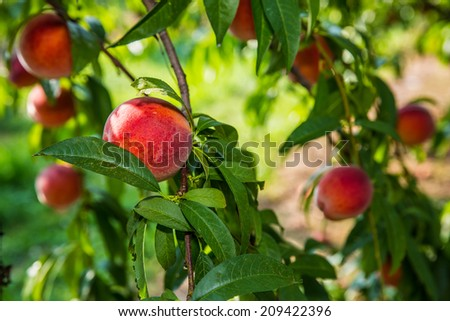 Peaches hanging from limb of peach tree in orchard during summer in Pennsylvania. - stock photo
