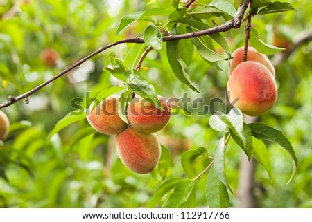 Peaches on a tree branch closeup in the orchard - stock photo