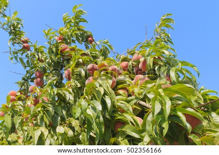 peaches on the tree against a blue sky