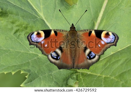 Peacock Butterfly sitting on green leaf