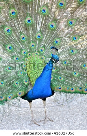 Peacock, close - stock photo