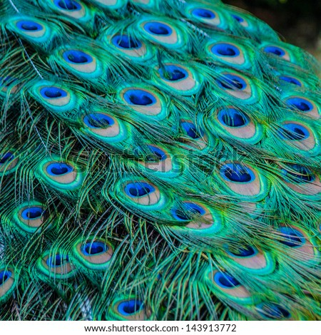 Peacock detail - stock photo