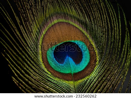 Peacock Feather With Two Eyes Peacock Eye Feather Low Key