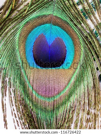 peacock feather eye background ornate pretty nature - stock photo
