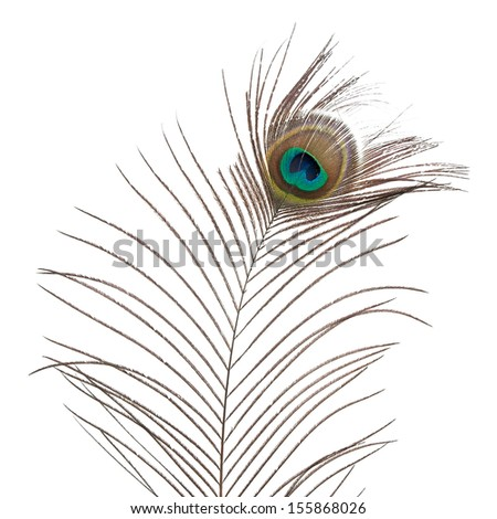 Peacock feather isolated on white background.