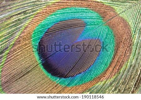 Peacock feather, macro shot - stock photo