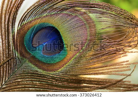 Peacock feathers as ornaments, Beautiful exotic peacock feathers  - stock photo