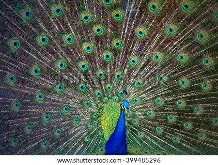 Peacock feathers on display - stock photo