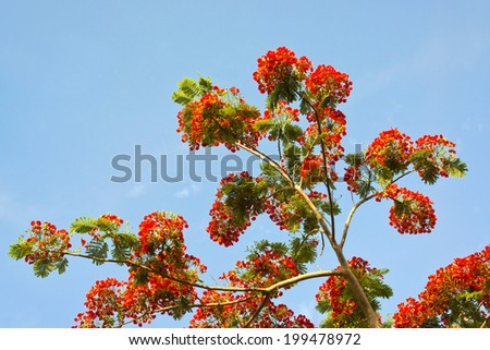 Peacock flowers on poinciana tree - stock photo