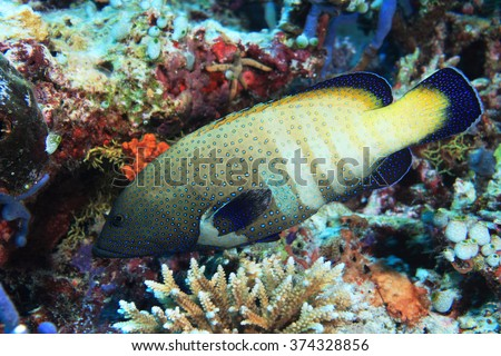 Peacock hind grouper fish (Cephalopholis argus) in the tropical coral reef  - stock photo