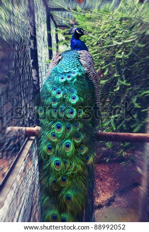 peacock in a cage - stock photo