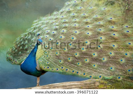 Peacock in Full Feather Display against Blue Green Background - stock photo