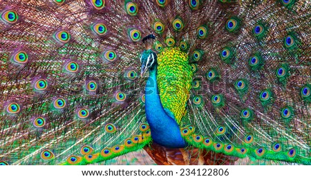 Peacock in the wild on the island of Sri Lanka - stock photo