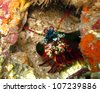 Peacock mantis shrimp (Harlequin mantis shrimp, Painted mantis shrimp) - Odontodactylus scyllarus - stock photo